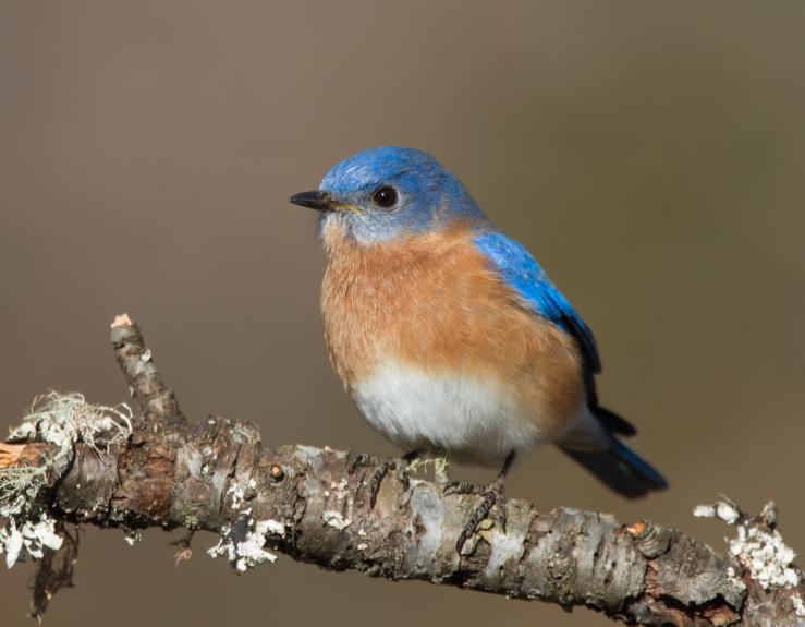 eastern-bluebird.jpg